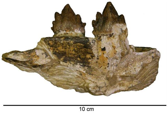 dientes fósiles de antigua ballena