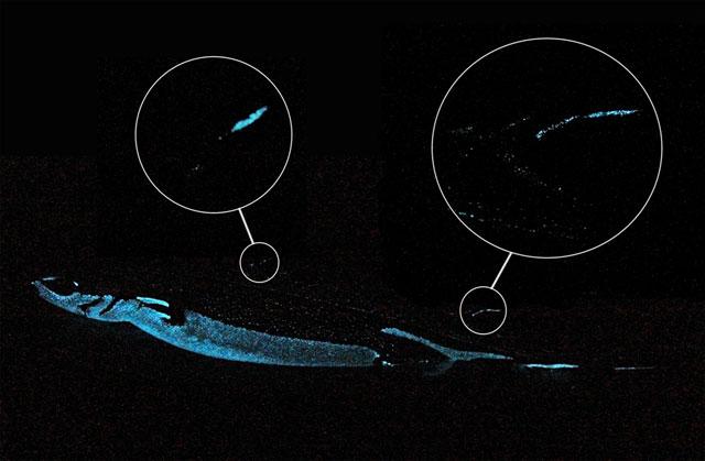 espinas bioluminiscentes en el tiburón Etmopterus spinax