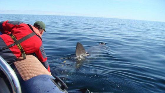 etiquetado de tiburón peregrino Banba