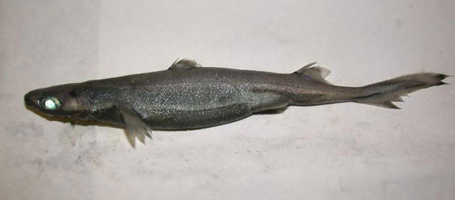Etmopterus spinax