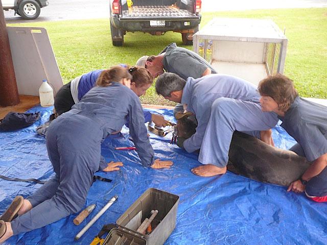extracción de un anzuelo a una foca monje