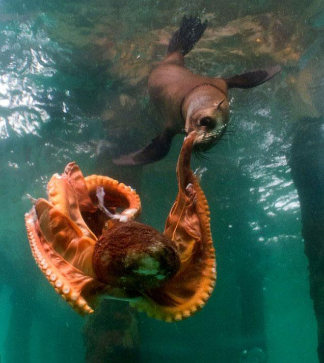 foca caza un pulpo