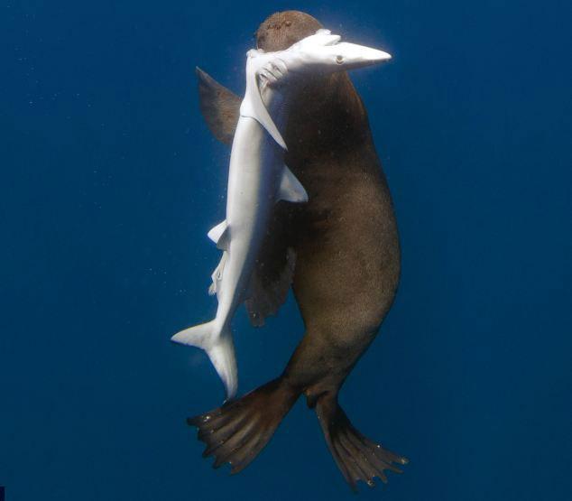 foca se come un tiburón