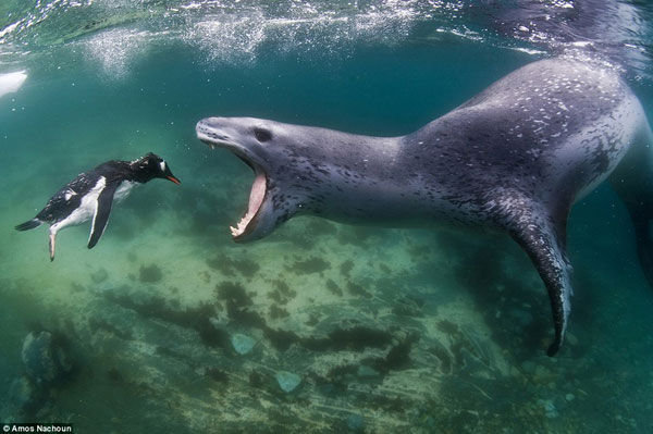 foca leopardo ataca a un pingüino