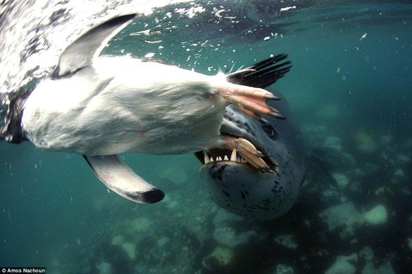foca leopardo atrapa a un pingüino