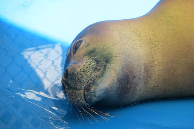 foca monje liberada de un anzuelo