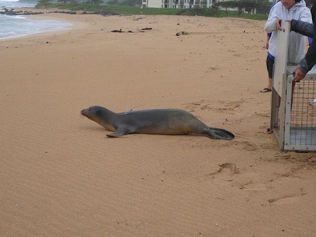 foca monje liberada tras extraerle un anzuelo