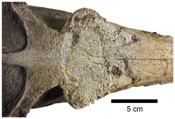 Maledictosuchus riclaensis, cráneo fósil