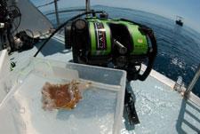 muestra de coral de aguas profundas Acropora