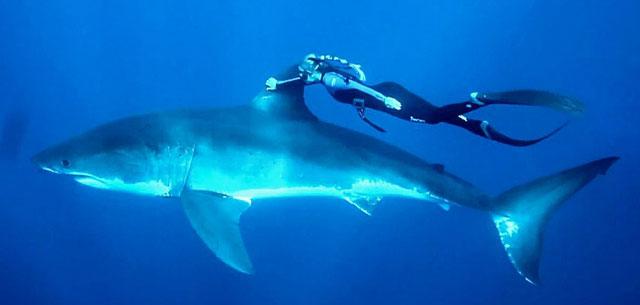 mujer nada junto a un tiburón blanco