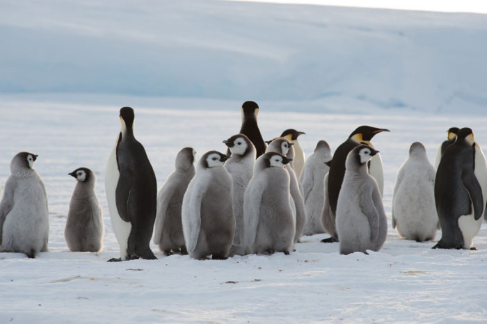 nueva colonia de pingüinos emperador en la Antártida