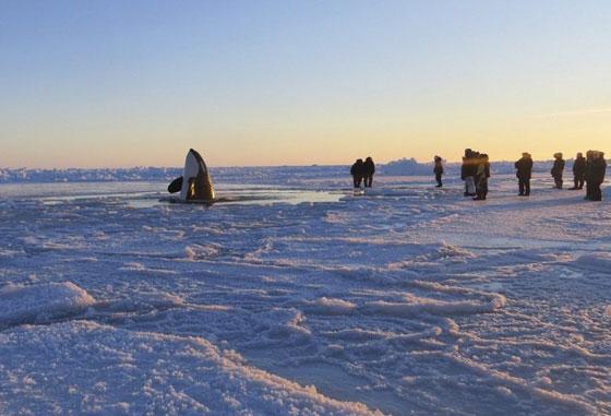 orca atrapada en el hielo en el norte de Canadá