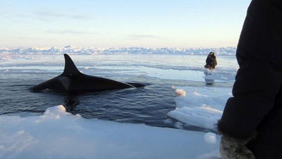 orcas atrapadas en el hielo en el norte de Canadá