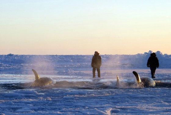 orcas atrapadas bajo el hielo en el norte de Canadá