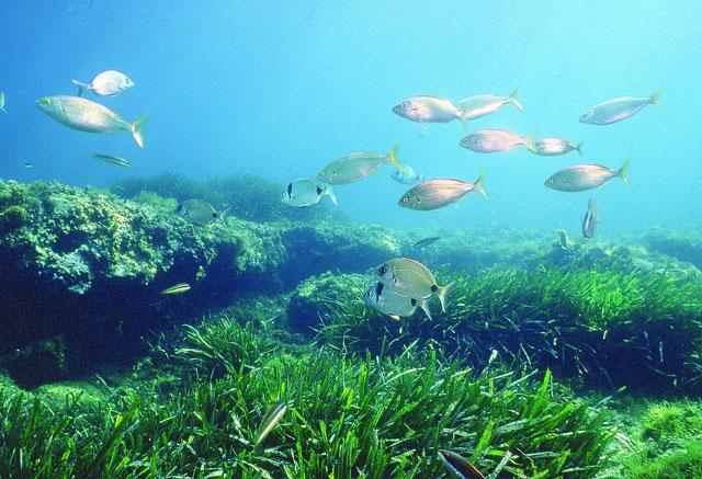 peces nadan encima de una pradera marina