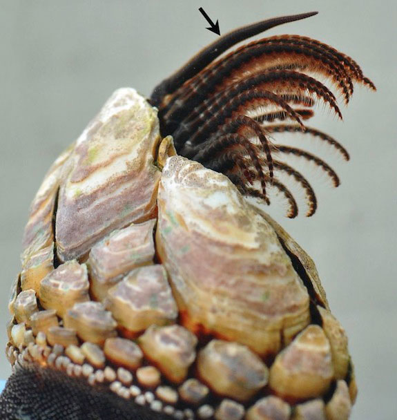 pene relajado en percebe cuello de cisne (Pollicipes polymerus)