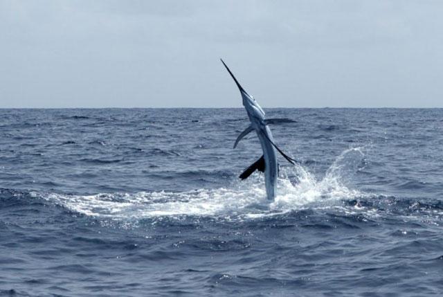 pez espada saltando fuera del agua
