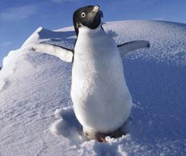 pingüino Adelia e la Antartida