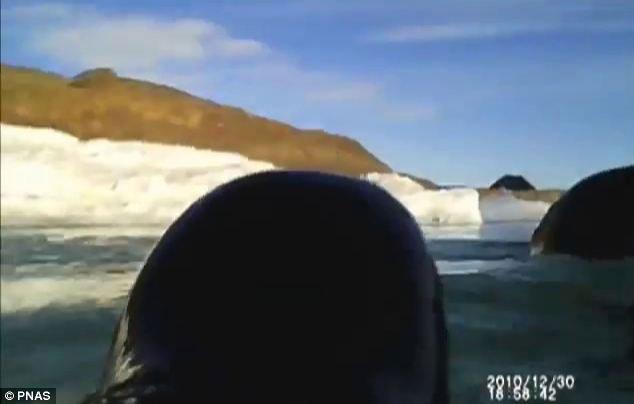 pingüinos Adelia cazando filmados cámara en la espalda
