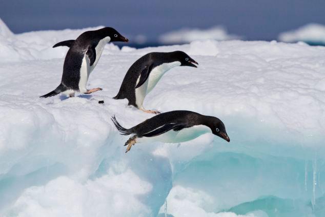 pingüinos Adelia lanzándose al agua