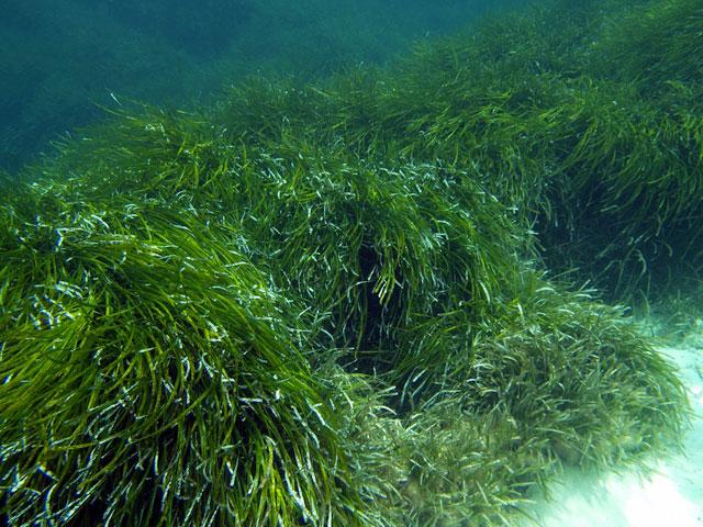 posidonia oceánica en Formentera