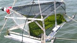 regeneración de zostera marina en Virginia