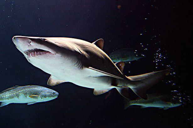 tiburón en un acuario