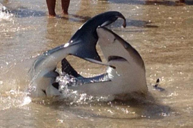 tiburón arenero Australia