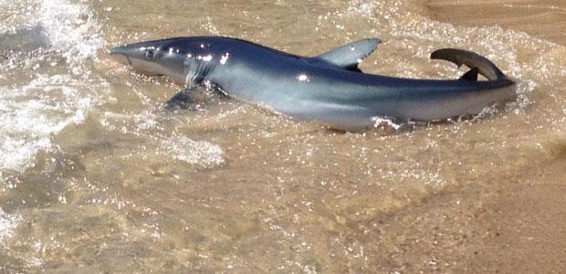 tiburón arenero en una playa de Australia