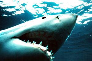 el tiburón no es un devorador de hombres