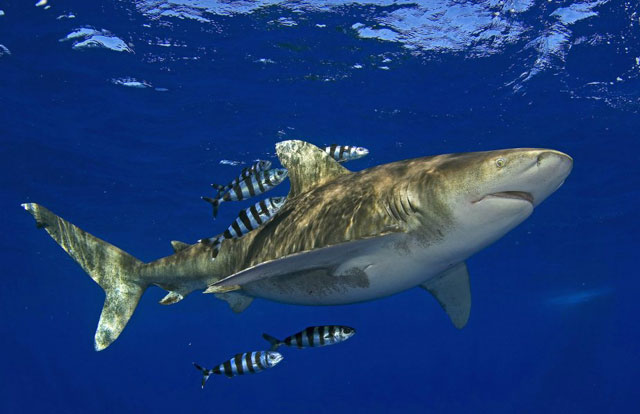 tiburón oceánico de puntas blancas (Carcharhinus longimanus)