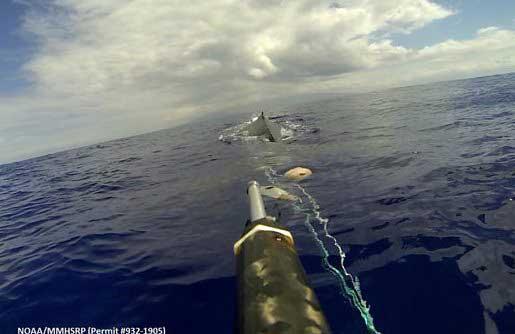 ballena enredada en Hawái