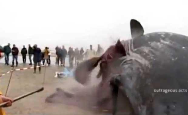 ballena explota en una playa de Holanda