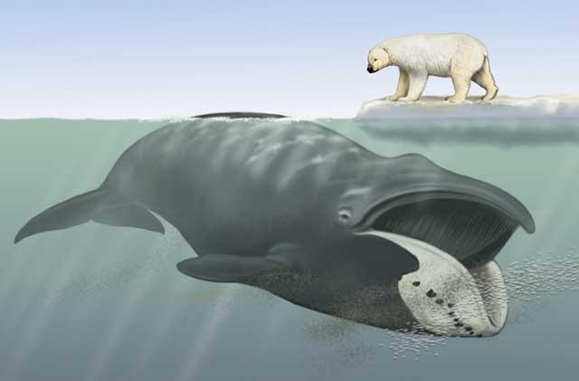 ballena franca de Groenlandia y oso polar