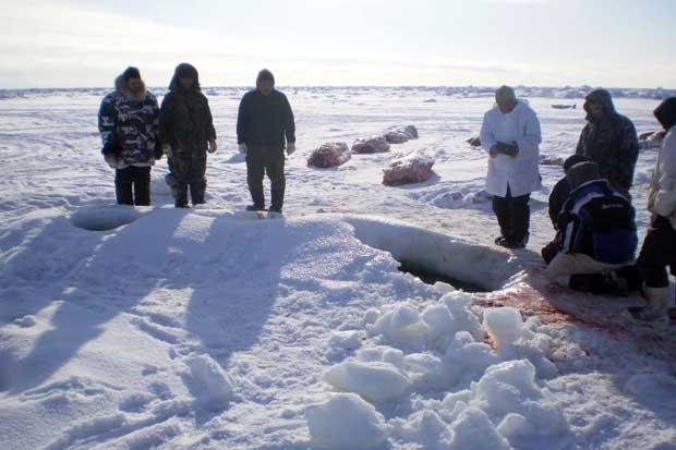 belugas muertas fuera del agujero de hielo, Sanikiluaq, Canadá