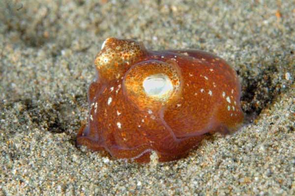 calamar bobtail tropical (Sepiadarium kochi)