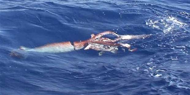 el calamar gigante tiene un ADN muy similar
