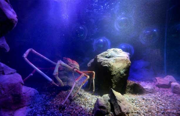cangrejo araña gigante japonés Big Daddy en su nuevo tanque