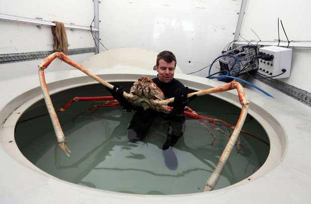 cangrejo araña gigante japonés Big Daddy