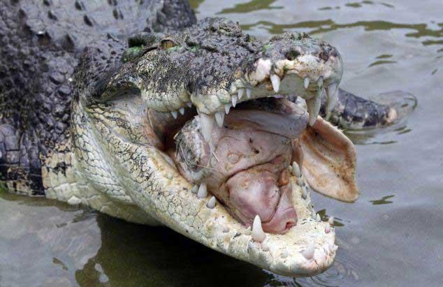cocodrilo marino come cabeza de cerdo