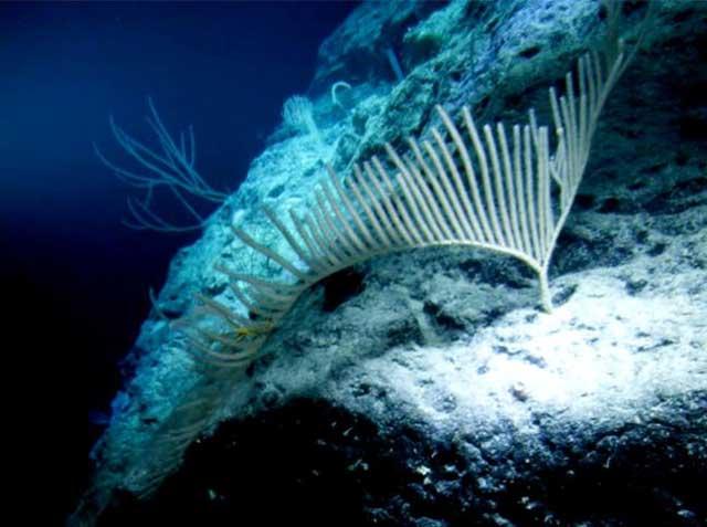 corales en la fosa del atolón Ulithi