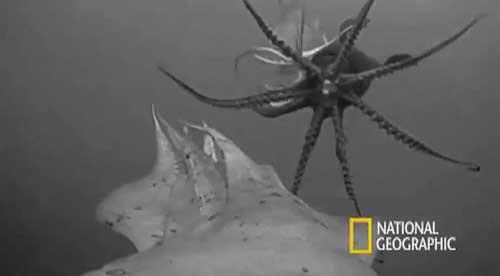 Crittercam adosada a un calamar de Humboldt