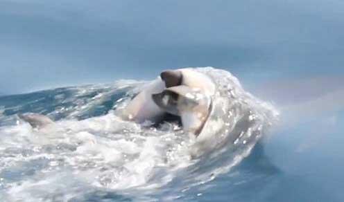 delfín carga con su cría muerta