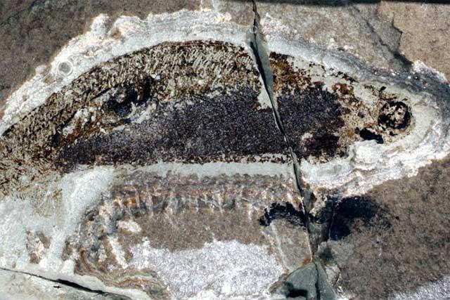 fósil de Euphanerops