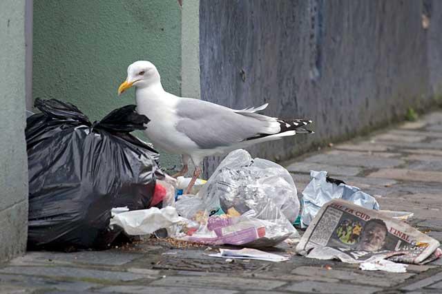 gaviota comiendo de la basura