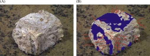 gusanos zombi Osedax sp en un hueso de ballena