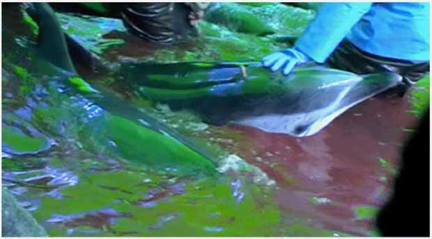 matanza de delfines en Taiji