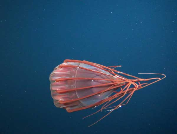 nueva medusa encontrada en las islas Desventuradas