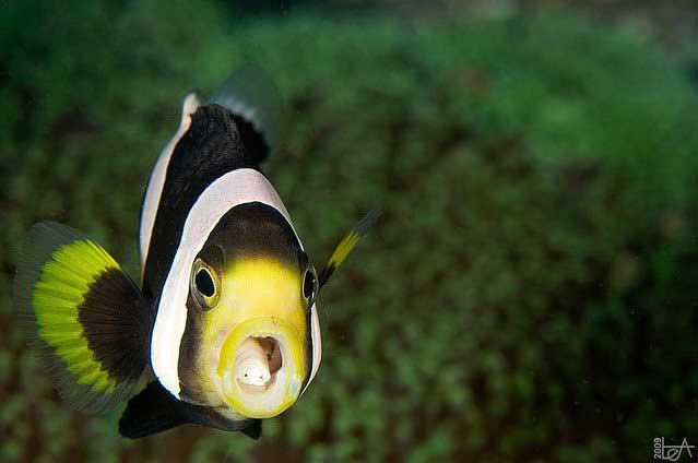 parásito en la lengua de un pez payaso