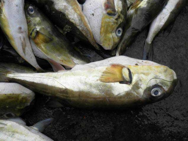 peces globo Lagocephalus inermis capturados en Kerala